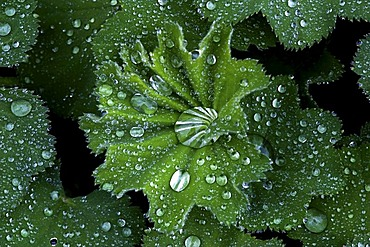 Rain drops on water-repellent leaves