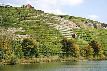 Vineyards at the Neckar Stuttgart Muenster Baden Wuerttemberg Germany