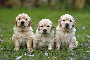 Three Golden Retriever puppies sitting on a meadow