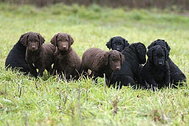 Some black and brown Curly Coated Retriever puppies on a meadow