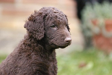 Portrait of a brown Curly Coated Retriever puppy