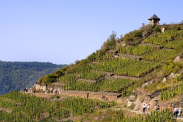 Vineyard, Rotweinwanderweg or Rotwein Hiking Trail near Mayschoss, Ahrtal Valley, Eifel Range, Rhineland-Palatinate, Germany, Europe