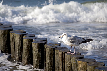 Seagull perched on a jetty, Kuehlungsborn, Baltic Sea, Mecklenburg-Western Pomerania, Germany, Europe