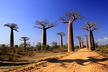Avenue of the Baobabs Grandidier's Baobab, (Adansonia Grandidieri), with ox-cart, Morondava, Madagascar, Africa