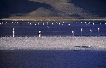 Flamingos at Laguna Colorada, National Park Eduardo Avaroa, Bolivia