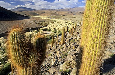 Cardon cactus at Rio Purifica, Atacama desert, Chile