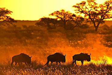 Herd of Wildebeests (Connochaetes) at sunset, Kalahari Desert, South Africa, Africa - 832-3566