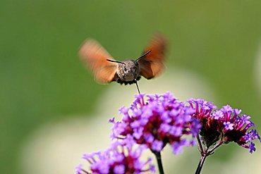 Hummingbird Hawk Moth (Macroglossum stellatarum) - 832-3576