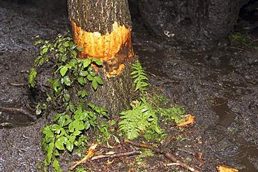 Damaged tree at a rallye