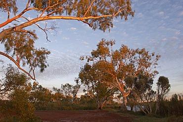 River red gum trees at Deep Reach Pool Millstream Chichester National Park Pilbara region western australia WA