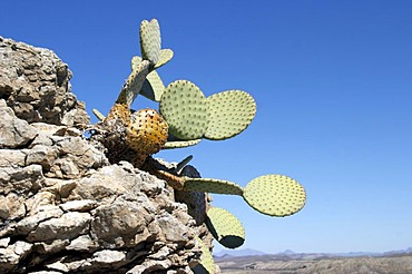 Cactus in Big Bend National Park, Texas, USA