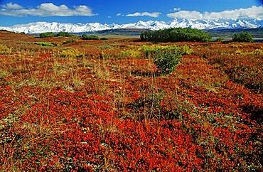 Autumn tundra with the snow-covered peaks of the Alaska Range, Denali National Park, Alaska, USA