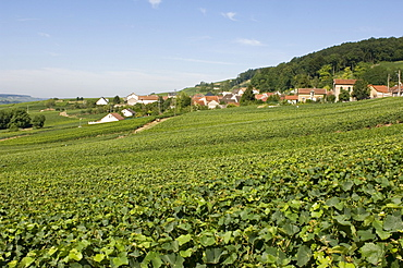 Houses and vineyards, Chatillon sur Marne, Champagne, France, Europe