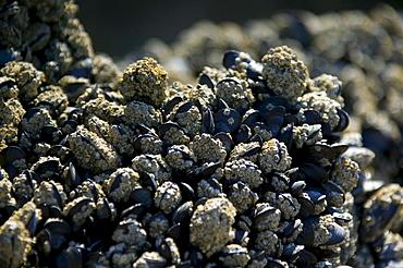 Mussel cluster