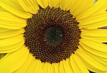 Sunflowerblossom ( detail ) Helianthus annuus