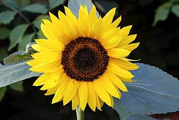 Sunflower ( Helianthus annuus )