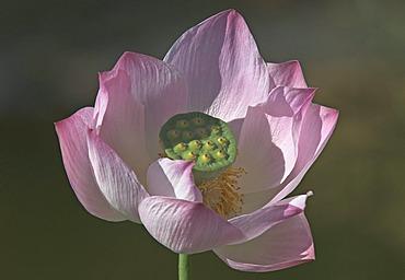 Lotusflower ( Nelumbo )