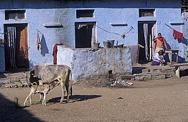 Streetscene, calf drinking milk from his mother, Gwalior, Madhya Pradesh, India, Southasia, Asia