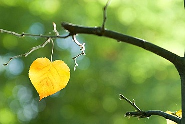 Golden autumn leaf in shape of a heart