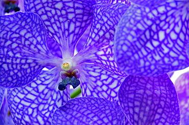 Purple Orchid (Orchidaceae)