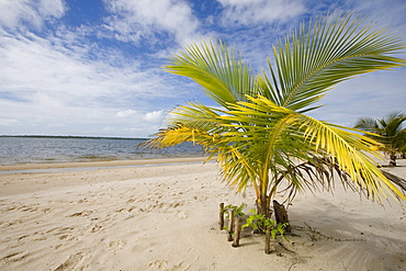 Palm tree on a beach in Manambato, Madagascar, Africa