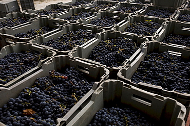 Grapes stacked in crates in the Quinta dos Roques winery in Cunha Baixa, Dao, Centro Region, Portugal, Europe