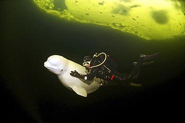 Beluga, White whale (Delphinapterus leucas), Diver, ice-diving, White Sea, Karelia, north Russia, Arctic