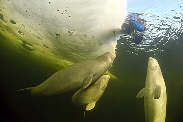 Diver and Belugas, White whales (Delphinapterus leucas), ice-diving, White Sea, north Russia, Arctic
