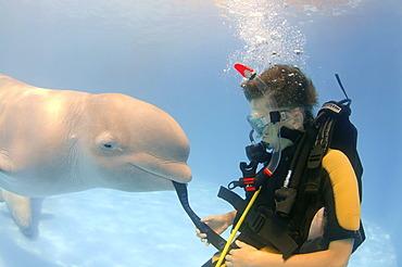Diver and Beluga, White whale (Delphinapterus leucas), dolphinarium, Odessa, Ukraine, Europe