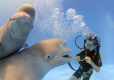 Diver and Belugas, White whales (Delphinapterus leucas), Dolphinarium, Odessa, Ukraine, Europe
