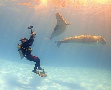 Diving cameraman and Beluga, White whale (Delphinapterus leucas), Dolphinarium, Odessa, Ukraine, Europe