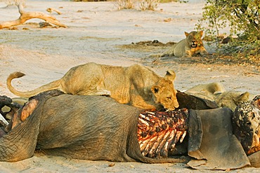 Lions (Panthera leo) on a captured elephant, Savuti, Chobe national park, Botswana, Africa