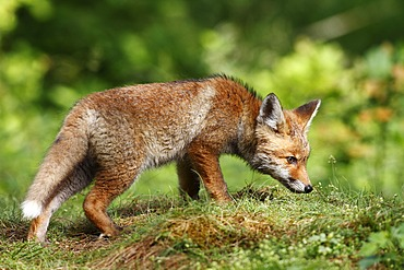 Red fox (Vulpes vulpes), cub standing in a meadow, sniffing
