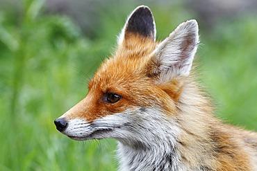 Red Fox (Vulpes vulpes), portrait, Neunkirchen, Siegerland region, North Rhine-Westphalia, Germany, Europe