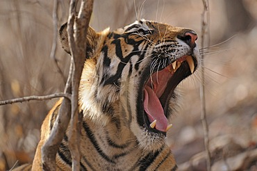 Yawning wild Tiger (Panthera tigris) in a forest, Ranthambore National Park, Rajasthan, India, Asia