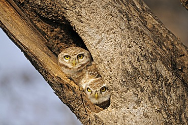 Two Spotted Owlets (Athene brama) staring from their tree hole in Ranthambore Tiger Reserve, Ranthambore National Park, Rajasthan, India, Asia