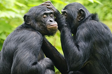 Two Bonobos or Pygmy Chimpanzees (Pan paniscus), delousing each other in an enclosure