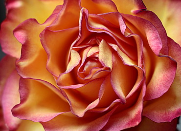 Pink and yellow Rose (Rosa), close-up