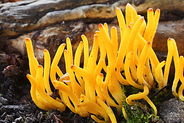 A clump of Stagshorn or Jelly antler fungus (Calocera viscosa)