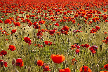 Red poppy field (Papaver rhoeas) in flower, near Berlin, Germany, Europe