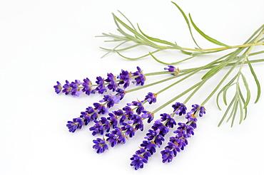 True Lavender (Lavandula angustifolia)