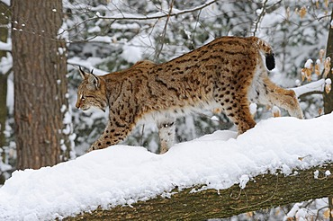 Lynx (Lynx lynx) in the snow