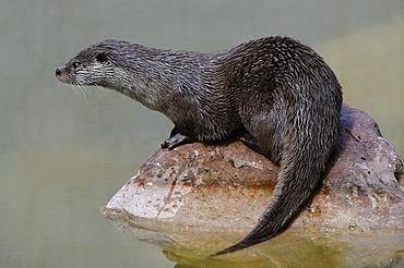 Eurasian otter, Eurasian river otter (Lutra lutra)