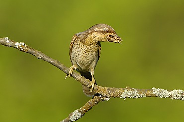 Wryneck (Jynx torquilla) with food in beak