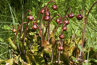 Purple pitcher plant or Side-saddle flower (Sarracenia purpurea)