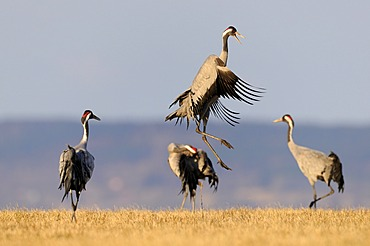 Common or Eurasian Cranes (Grus grus), dancing bird at roost, Lake Hornborga, Hornborgasjoen, Vaestergoetland, Sweden, Scandinavia, Europe