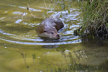Otter (Lutra lutra), seeking the safety of the river bank, Sihl forest, Switzerland, Europe