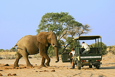 African Bush Elephant (Loxodonta africana) bull in front of a jeep with photographers, Savuti, Chobe National Park, Botswana, Africa