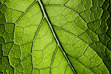 Borage (Borago officinalis), close-up of leaf