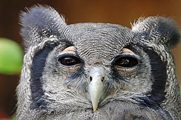 Giant Eagle Owl, Verraux's Eagle Owl (Bubo lacteus), portrait, African species, captive, North Rhine-Westphalia, Germany, Europe